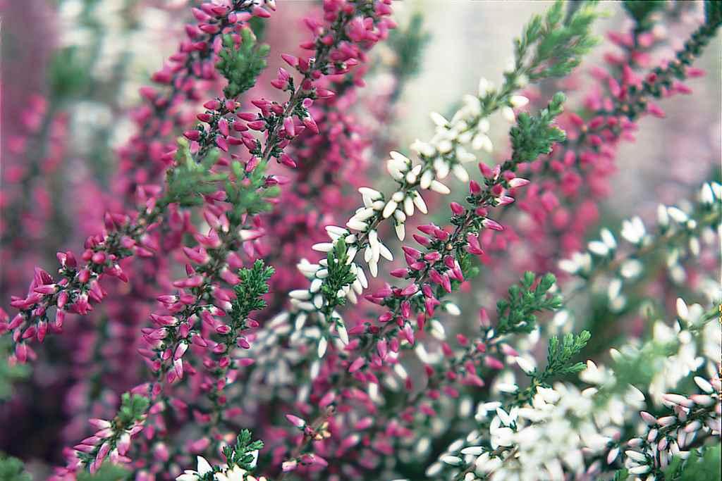 Erica pianta perenne dai fiori invernali giardino for Solo piante
